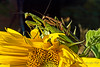 Preying Mantis  Couple  9/13/2007