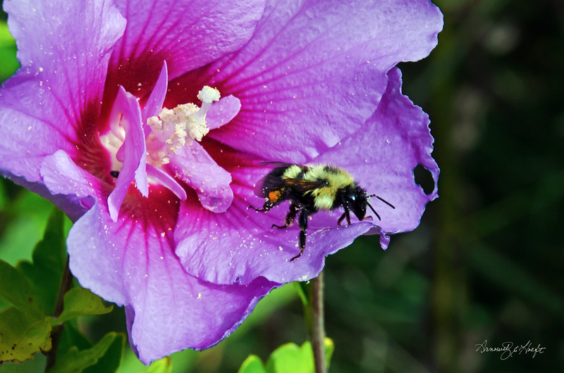 Bee on Hibiscus