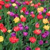 tulip                         511