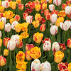 tulip                         1911