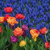 tulip                         711