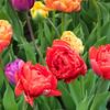 tulip                         811
