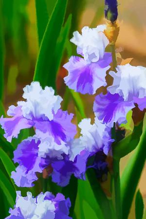 Garden Iris 04