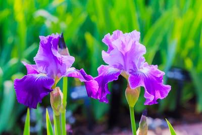 Garden Iris 03