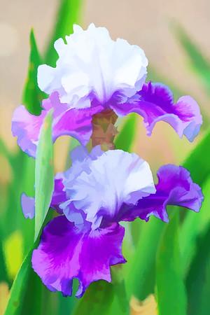 Garden Iris 06