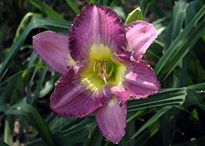 Day Lily 06