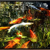Reflections in the Koi pond.