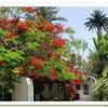 Flamboyant tree in garden