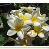 Frangipani (Plumeria Alba) in bloom