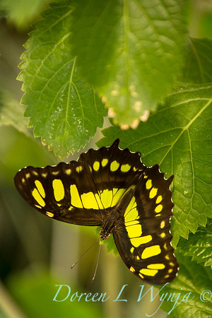 Butterfly on a Acalypha pendula_1034