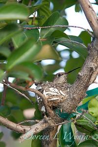 nesting hummingbird_1678