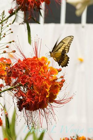 Caesalpinia Pulcherrima with Papilio cresphontes butterfly_001