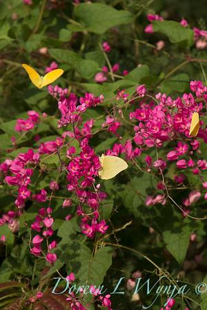 Antigonon leptopus - Phoebis sennae P  agarithe butterflies_0975