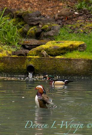 Aix galericulata Mandarin Duck Aix sponsa Wood Duck male_0007