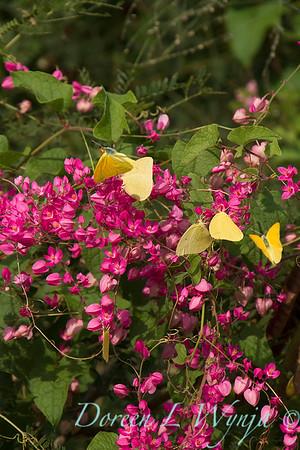 Antigonon leptopus - Phoebis sennae P  agarithe butterflies_0978