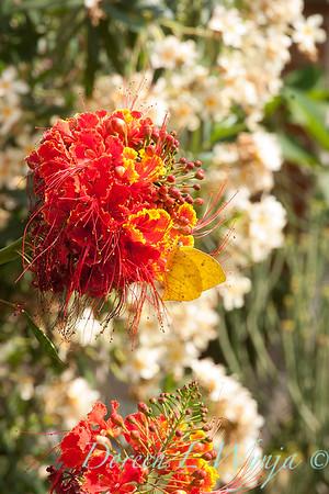 Caesalpinia pulcherrima - Phoebis agarithe_0999