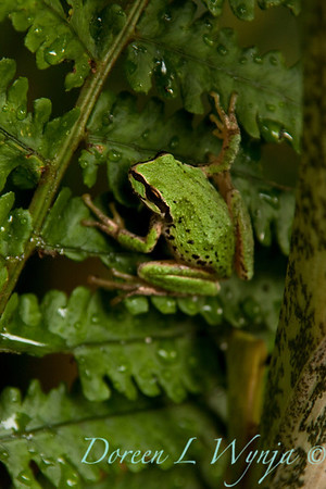 Frog_001
