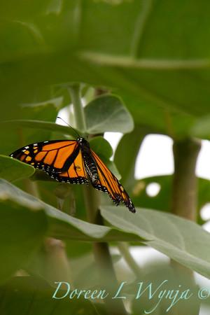 Danaus plexippus butterfly_ 006