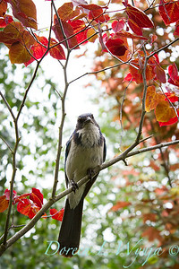 Blue Jay in a Cercis_004