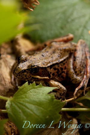 Frog_013