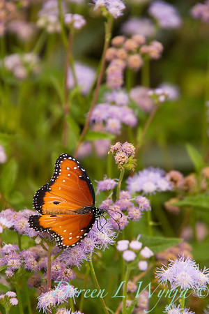 Ageratum corymbosum - Danaus gilippus Queen butterfly_911
