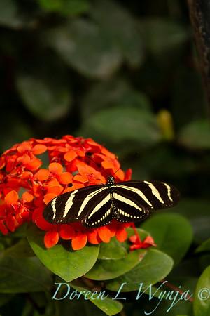 Butterfly on Ixoar coccinea_7362