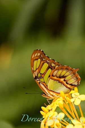 Butterfly on Ixroa Maui yellow_1032