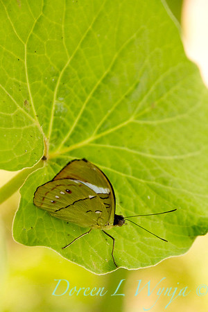 Butterfly on Pelargonium_1024