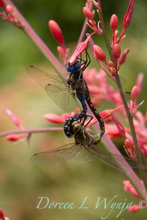 Darner dragonflies on Hesperaloe parviflora_1854