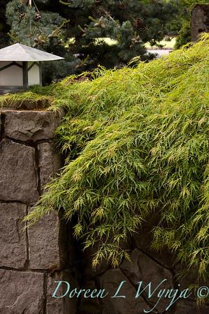 90 Acer palmatum Waterfall_020