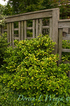 Skimmia japonica female_1716