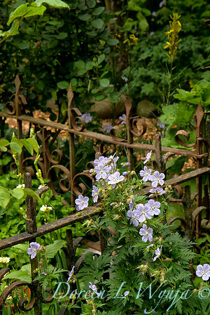 Geranium pratense Mrs  Kendall Clarke_003