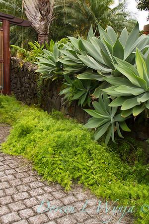 Agave attenuata - Asparagus sprengeri - lava rock wall_0668