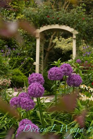 Allium rosenbachianum_010