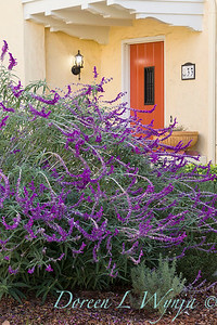 Salvia leucantha - orange front door_5372