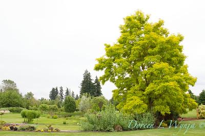 Robinia pseudoacacia Frisia_0704