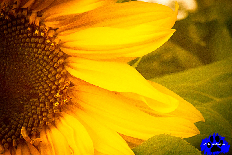 Yellows of a Sunflower
