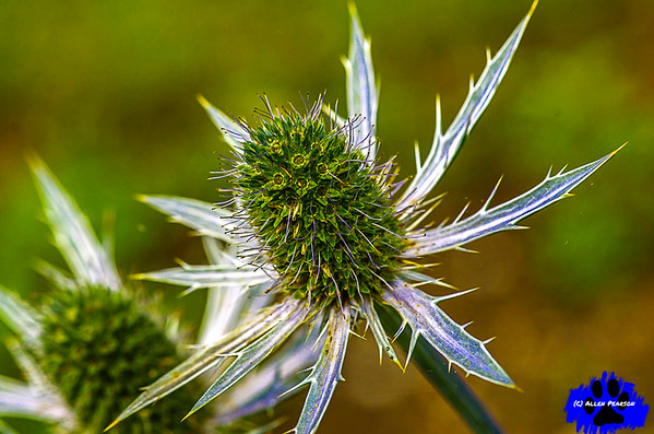 Blue Sea Holly Blooming