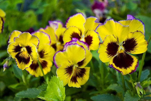 Viola x wittrockiana (pansies)