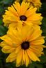 Rudbeckia, double yellow (black-eyed Susan)