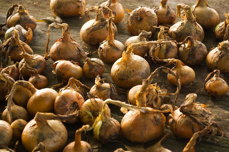 Allium cepa (onions)