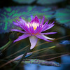 Lotus One