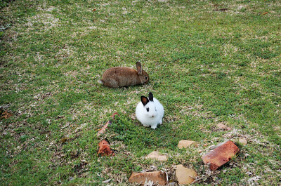 Bunnies  Castleton have loads of rabbits milling about and you are actually encouraged to feed them.