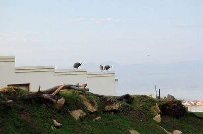 Guinea Fowl on the Wall