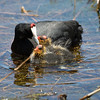 Red-knobbed Coot,