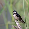 White-throated Swallow
