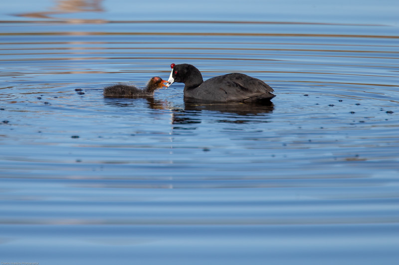 Red Knobed Coot
