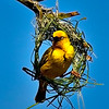 Cape Weaver Building New Nest