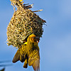 Cape Weaver on Its Nest