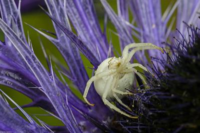 Crab Spider on Eryngium